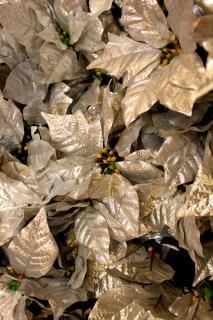 plata, flor de pascua
