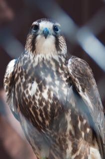 plumas de halcón