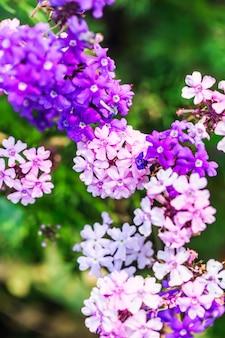 Polemoniaceae flores en el fondo, ligeramente defocused? Abeja