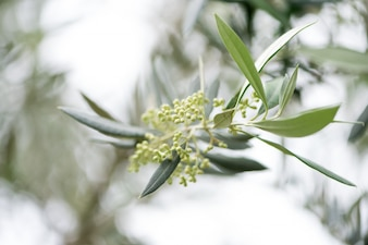 Primavera de la rama de olivo