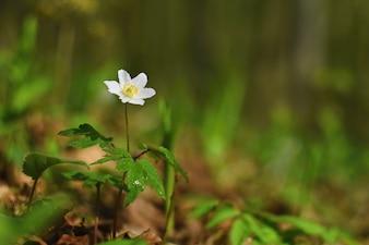 Primavera flores blancas en la hierba Anémona (Isopyrum thalictroides)