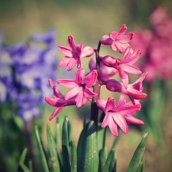 Primavera y hermosas flores en flor - jacinto.