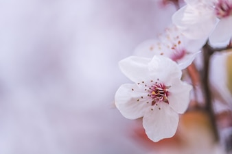Primer plano de flores de cerezo