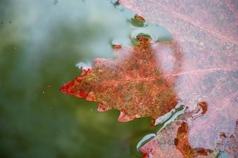 Primer plano de hoja de otoño en el agua