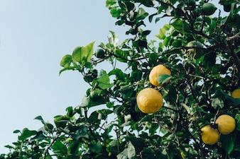 Resultado de imagen para imagenes gratuitas de limones