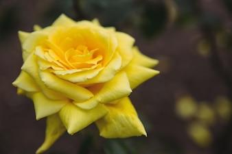 Primer plano de rosa amarilla