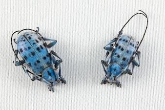 Pseudomyagrus waterhousei escarabajo par