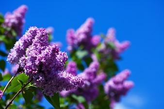 Púrpura rama lila contra el cielo azul