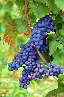 Racimo de uvas rojas que crece en un viñedo