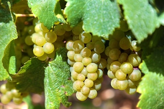 Racimo de uvas verdes en un viñedo