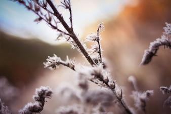 Rama congelado