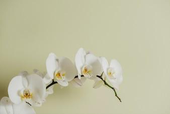 Rama de la orquídea en blanco