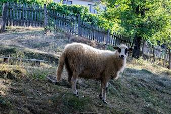 Retrato de ovejas blancas. Animal de granja.