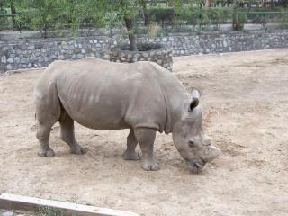rinoceronte, cuerpo