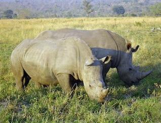 rinoceronte rinoceronte mamífero perisodáctilos Sudáfrica