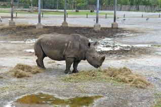 rinoceronte zoo
