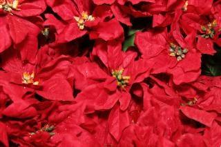 Roja flor de pascua de regalo