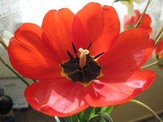 rojo tulipán flor floración