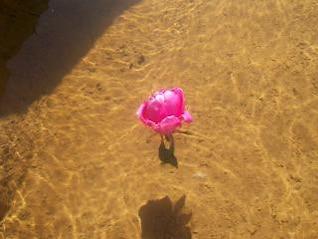 rosa en el agua