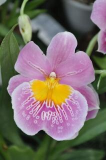 rosa orquídea de Cambria