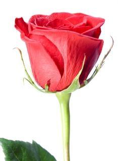 Rosa roja aislada