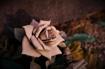 Rosa seca