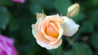 Rosas en el macizo de flores de la ciudad.
