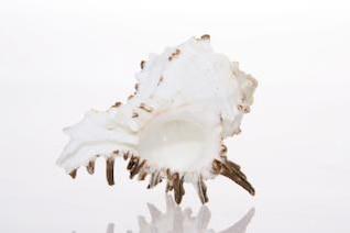 Seashell, natural, de coral