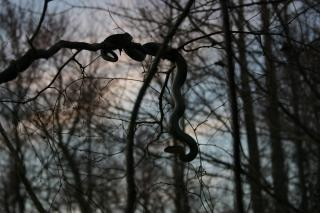 Sombra de la serpiente del árbol