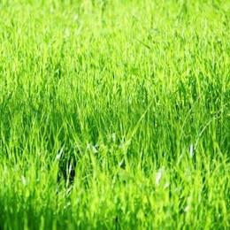 suave hierba