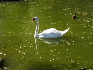 Swan, de aves, Italia
