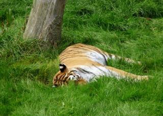 Tigre, animales