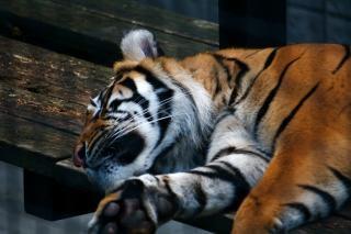 Tigre dormido, zoológico