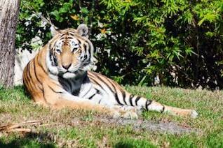 tigre patrón