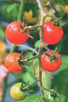 Tomates rojos frescos en la planta