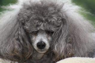 Toy Poodle con el pelo mal