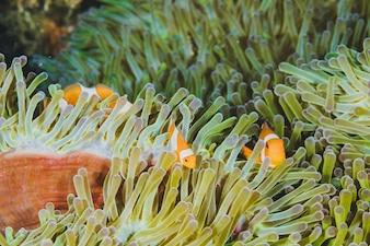 Tres naranjas nemo payaso pez (anemonefish) en la anémona verde.