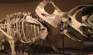 triceratops esqueleto