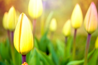 Tulipanes amarillos cerrados