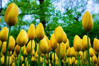 Tulipanes amarillos vistos desde el suelo