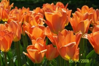 tulipanes de color naranja, flores
