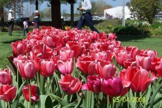 tulipanes de color rosa, crecer