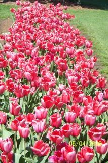 tulipanes de color rosa, la primavera