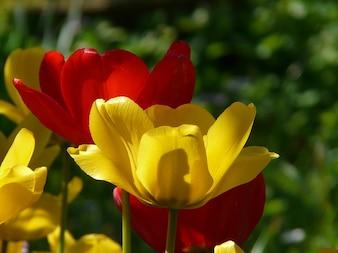 tulipanes luz de fondo hermosos