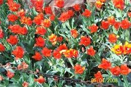 tulipanes rojos, al aire libre