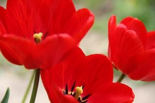 tulipanes rojos tulipanes flores