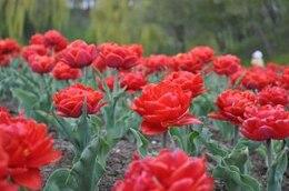tulipanes tulipanes rojos