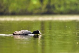 Un hermoso pato salvaje negro flotando en la superficie de un estanque (Fulica atra, Fulica anterior)