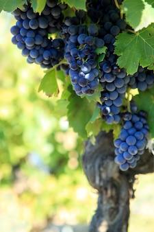 Uvas para el vino tinto