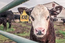 Vaca en cautiverio